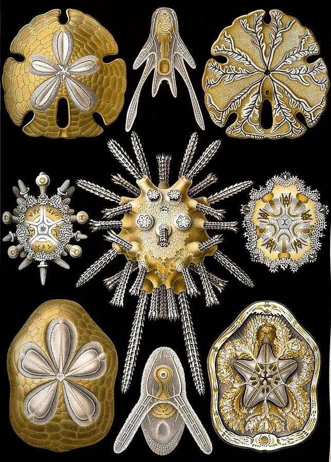 Ernst-Haeckel_2_defaultbody