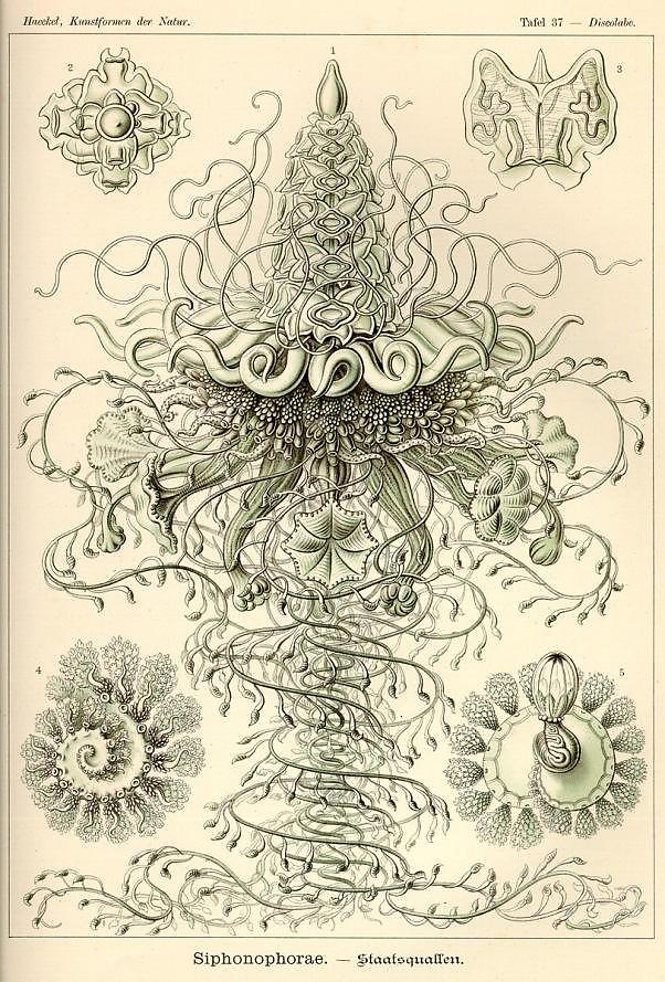 Ernst-Haeckel_4_defaultbody