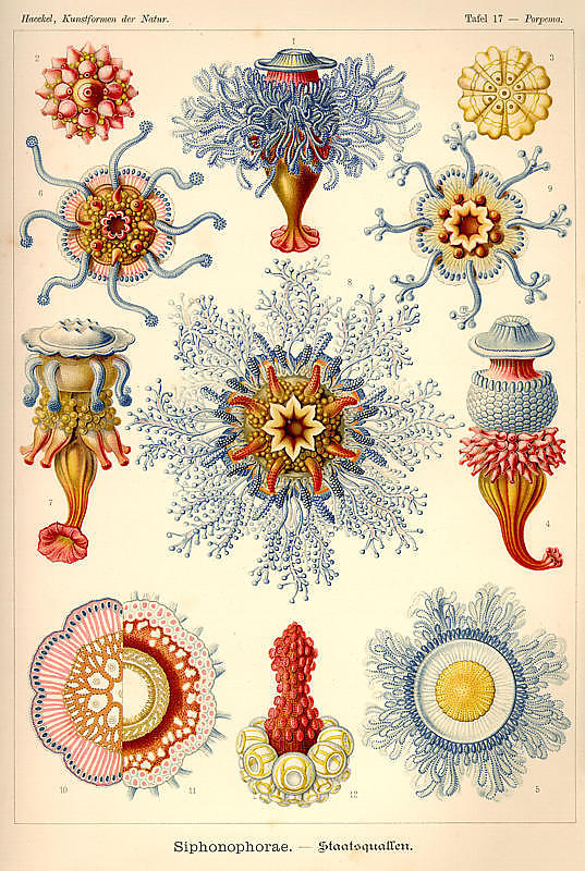 Ernst-Haeckel_5_defaultbody